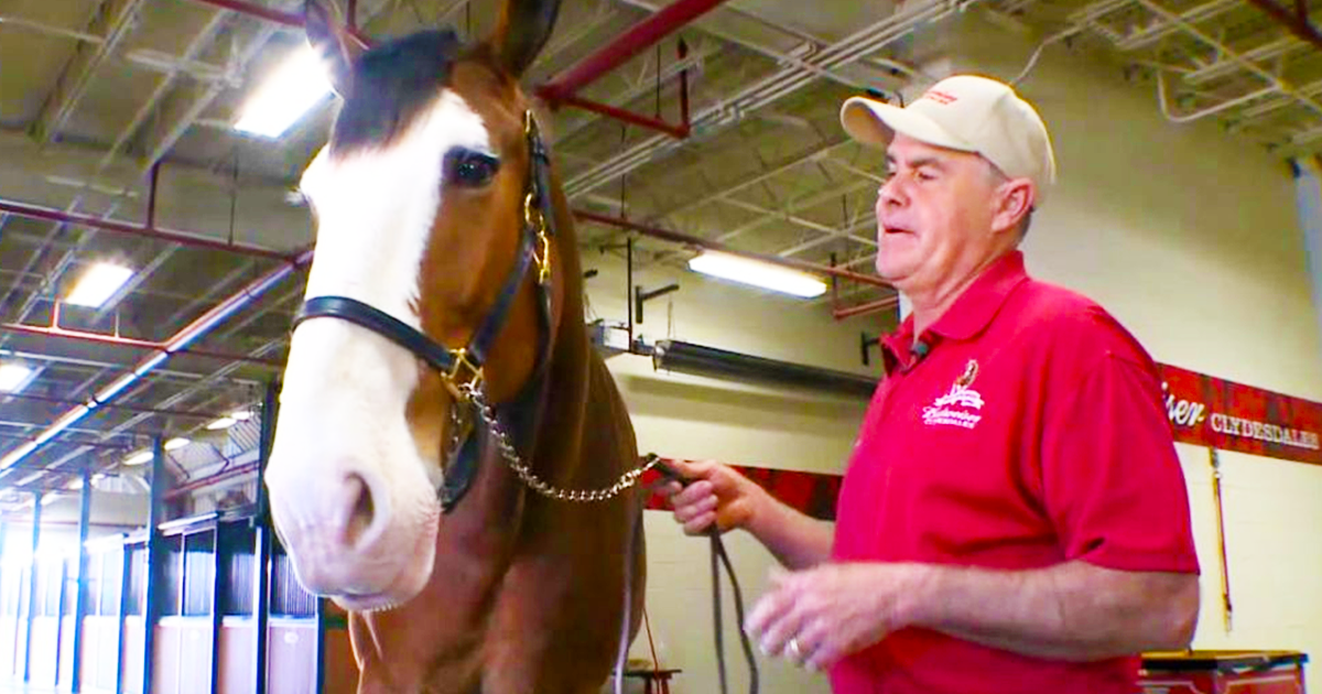 These Baby Clydesdales Are So Cute And Fun To Watch But Will They Make The Budweiser Cut