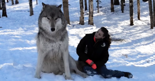 Giant wolf with woman