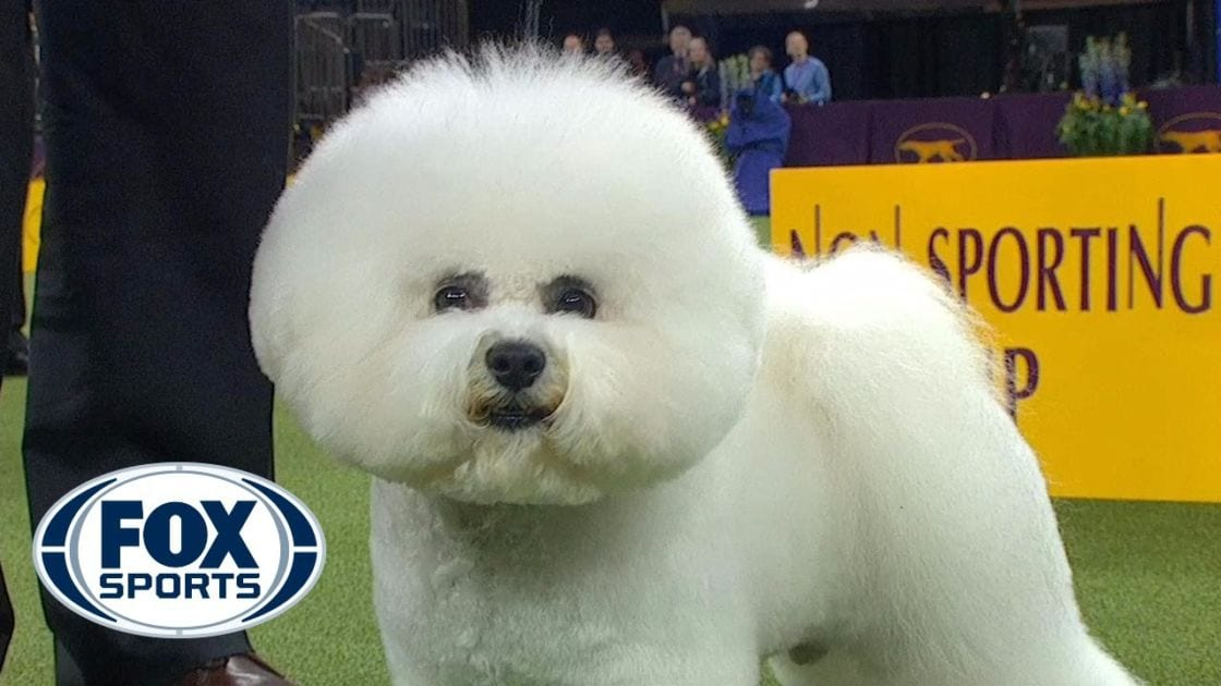Best In Show Westminster Dog Show