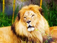 360 Lion Video