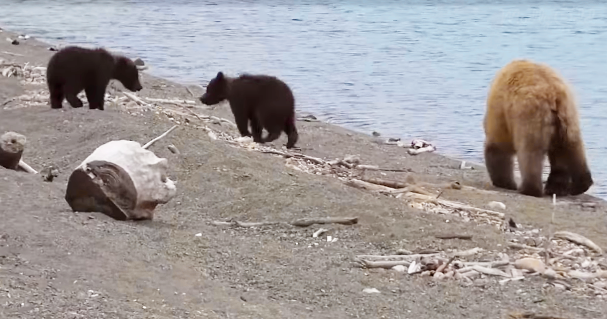 Bear and her cubs