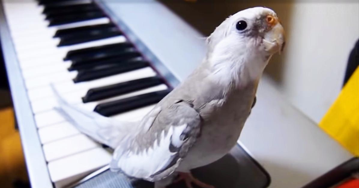 Cockatiel on keyboard