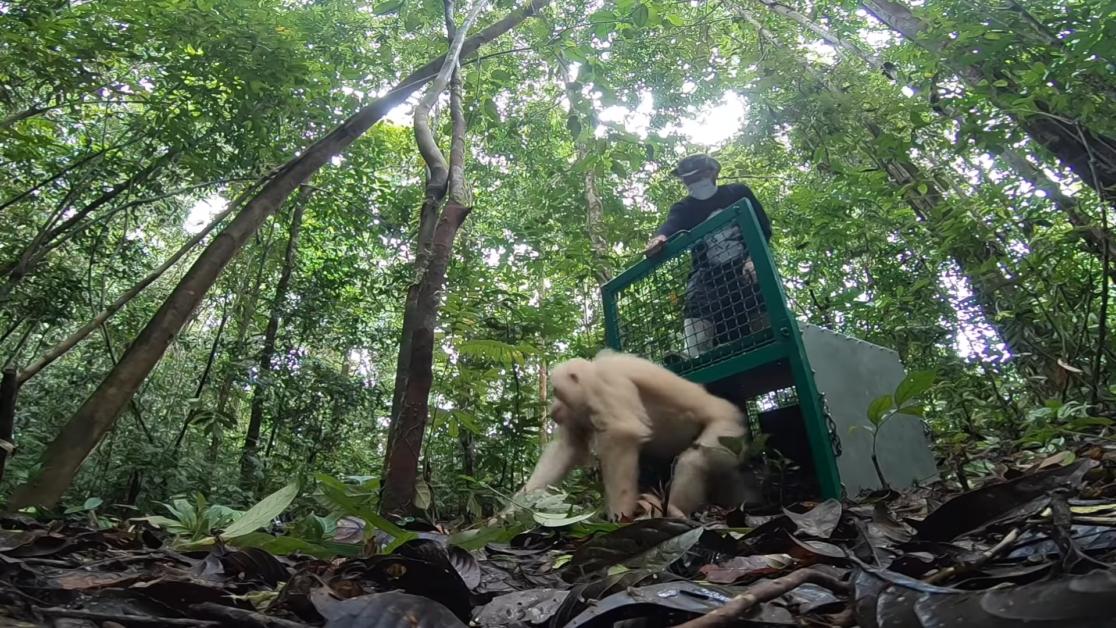 Albino Orangutan Release