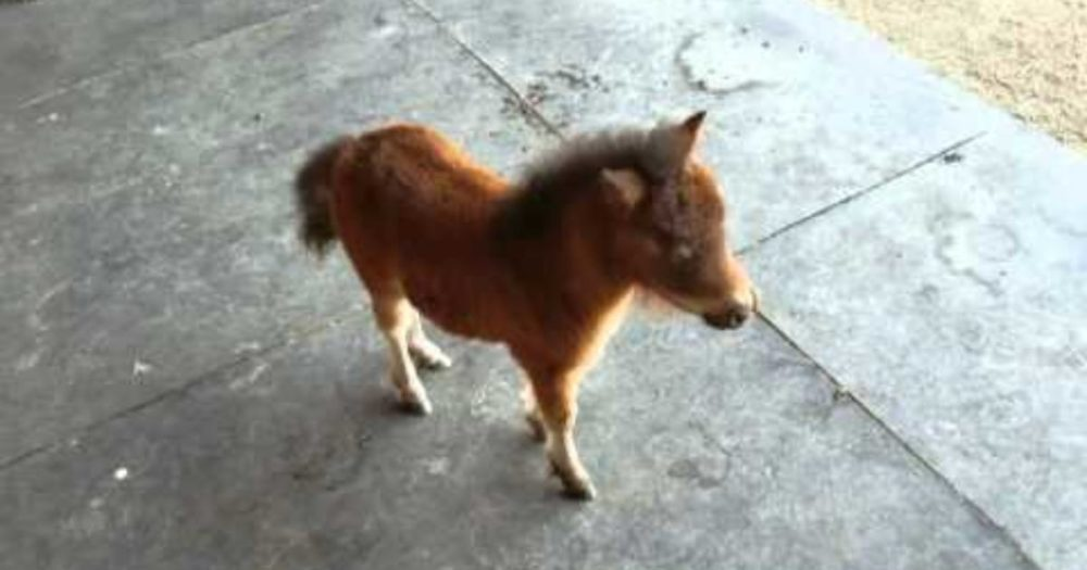Baby Miniature Horse Can't Stop Chasing The Cameraman  This Is Too