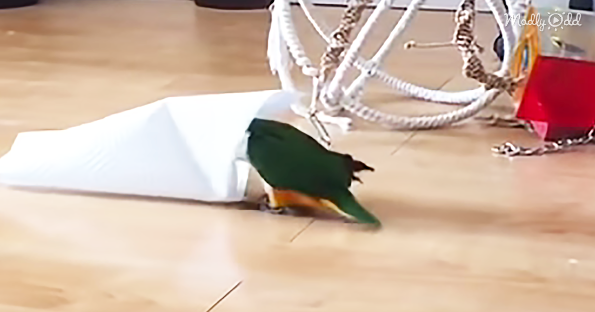 31465-OG2-Caique-Parrot-Loves-to-Hop,-Whistle,-and-Play-–-with-His-Paper-Towel