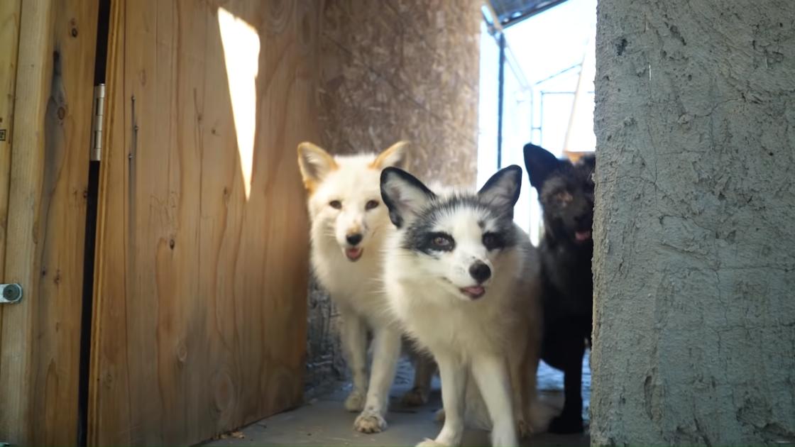 Domesticatd Foxes