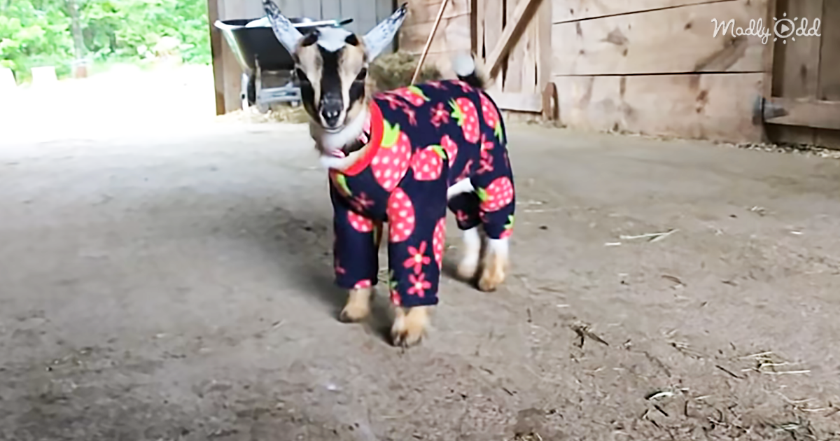 23560-OG2-Pygmy-Goats-in-Pajamas-You're-Welcome
