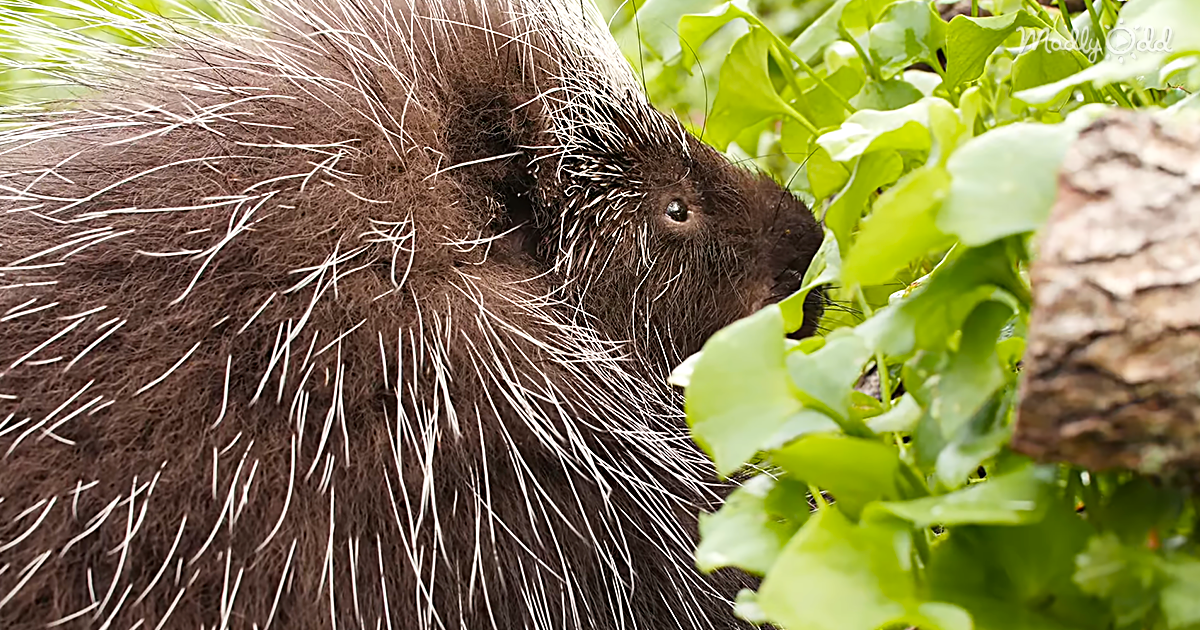 Watch This Porcupine Waddle, Bringing 30,000 Weapons Along