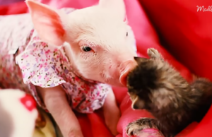 Rescue Piglet Befriends Orphaned Kitten And It's The Sweetest Thing Ever