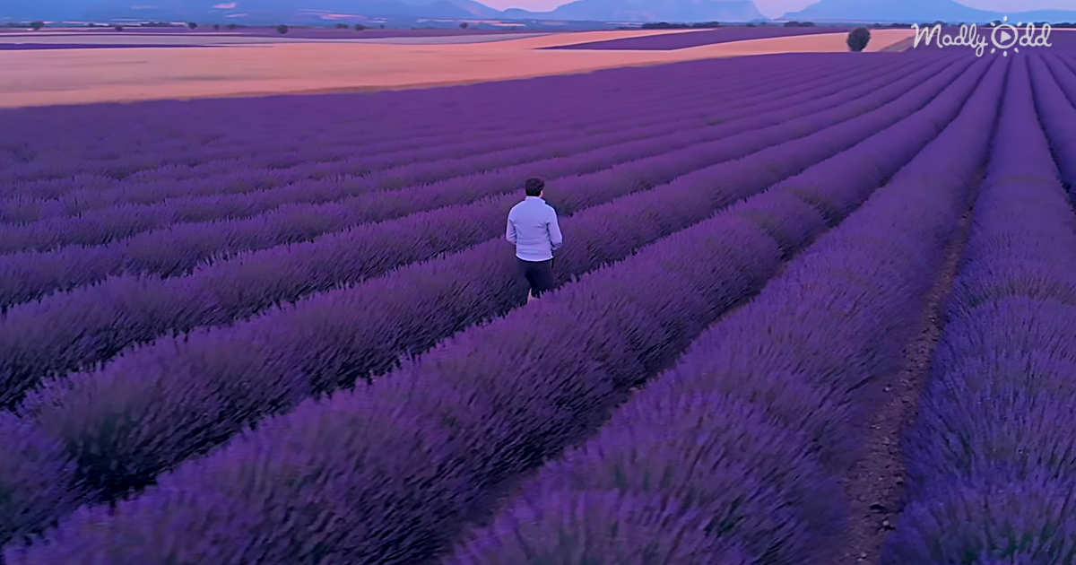 This Drone Flies Over The Spectacular Lavender Fields In France