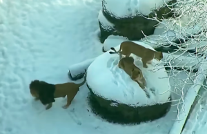 The Giant Cats Show Their Playful Side As They Frolic In The Snow
