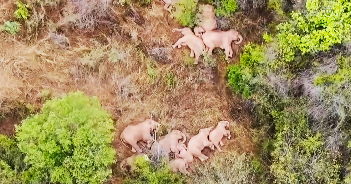 An elephant herd takes a nap, except for one mischievous child