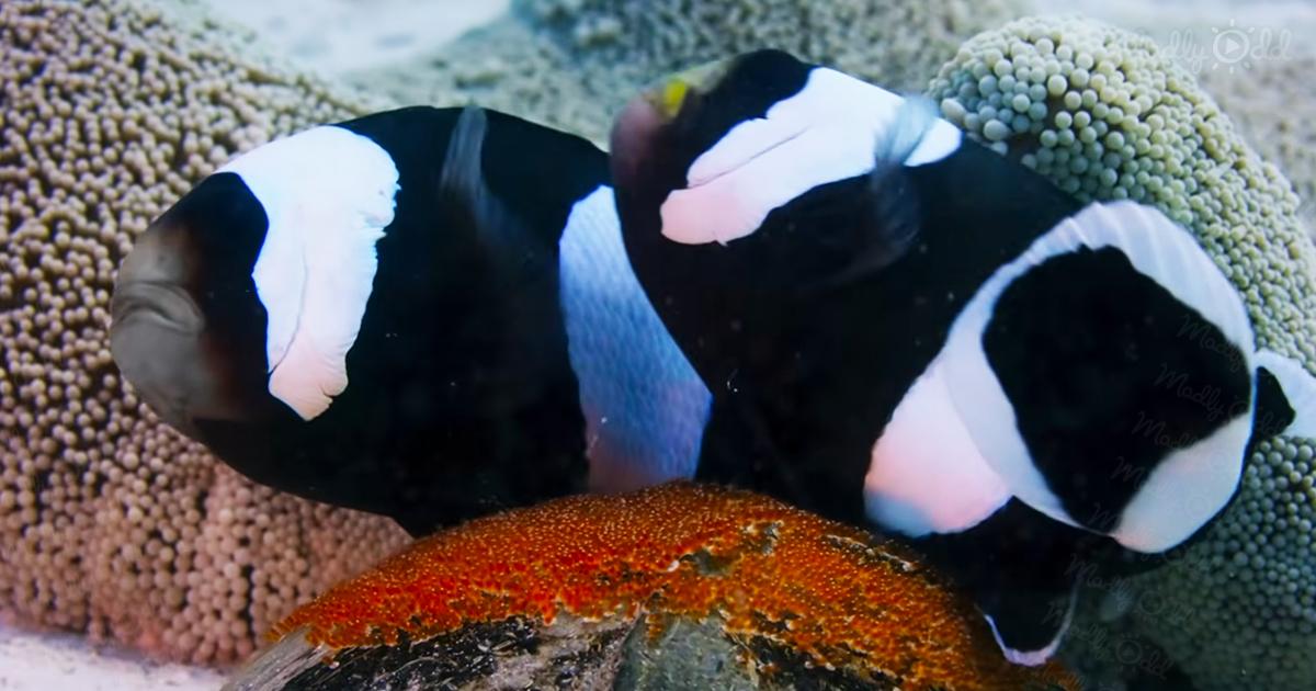 Clownfish use a shell as a nursery