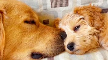 Golden Retriever adopts Labrador puppy