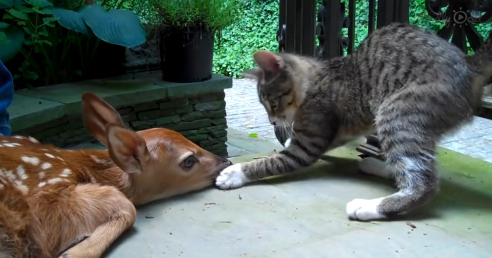 A lost fawn and kitten