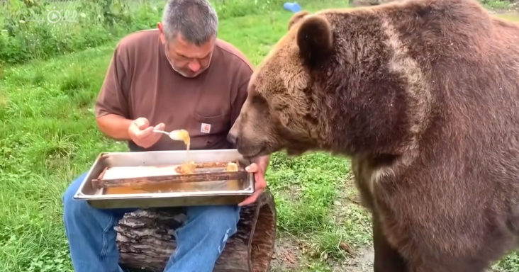 grizzly bear eating honey
