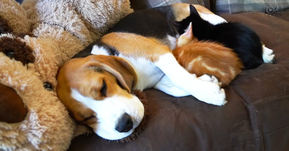 Beagle mom with 2 tiny rescued kittens