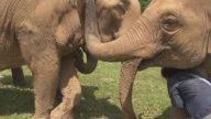 Woman hugs giant elephants